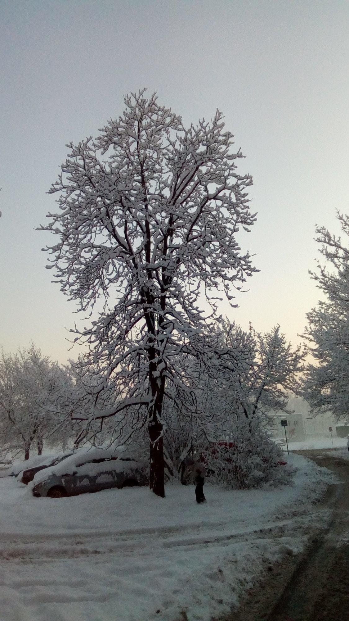 Zasněžený strom v Frýdku-Místku