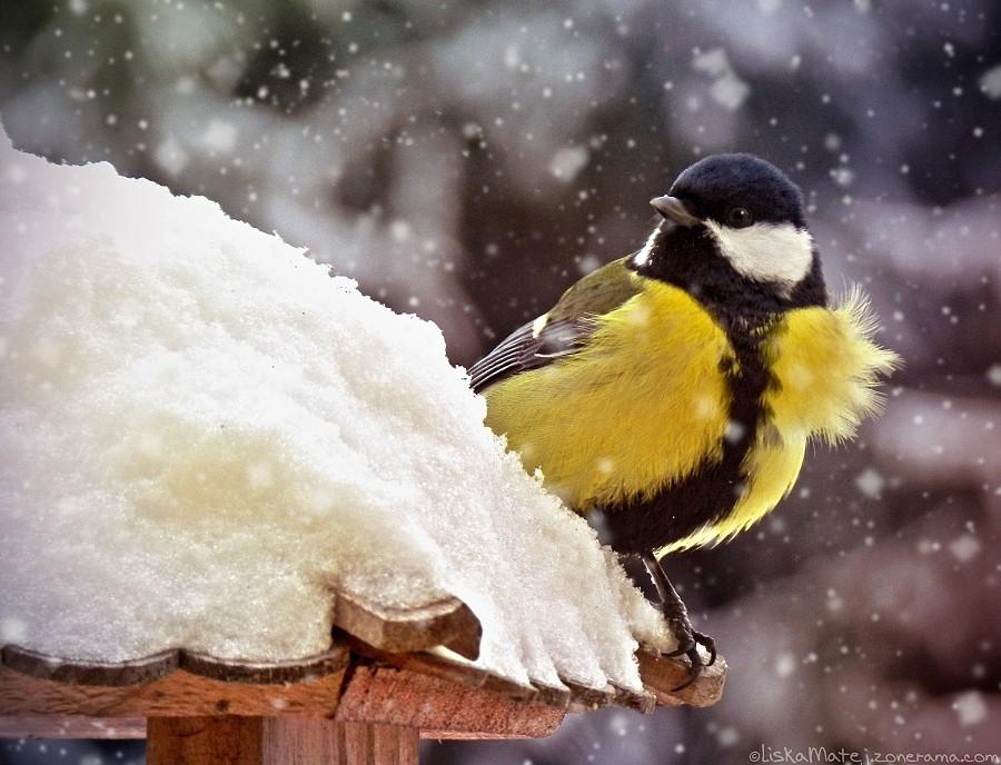 Hledání jídla kdesi ve sněhu