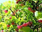 Kvetoucí keřík borůvek.