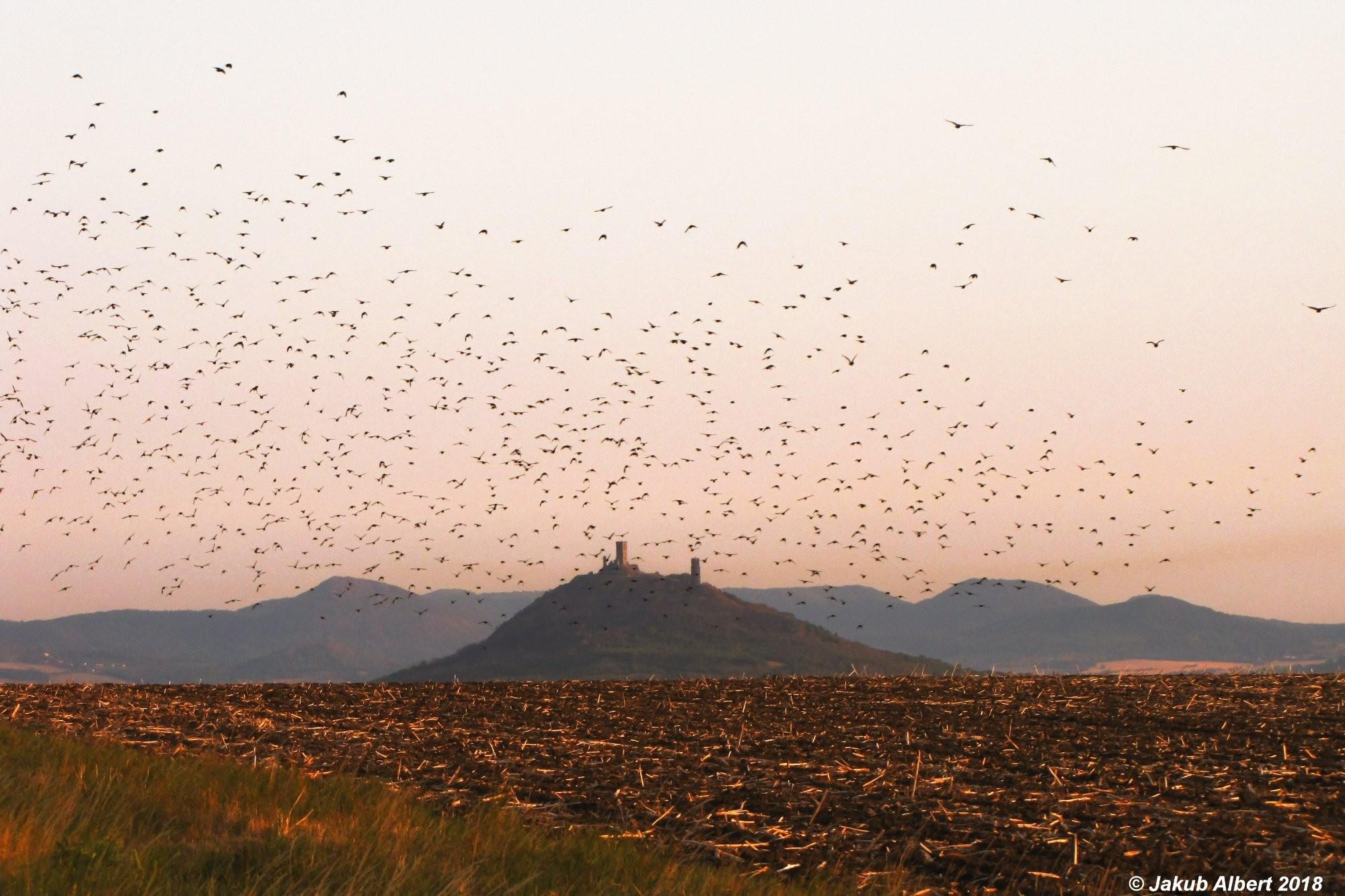 Hejno špačků a hrad Hazmburk
